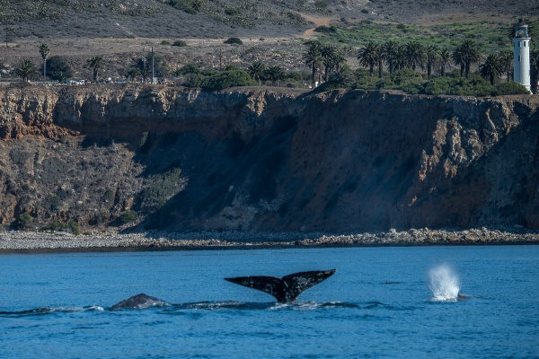 A roll, a fluke and a spray...within miles of SoCal shoreline. Photo by Martha Benedict.