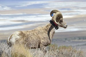 Get on the Lookout for Bighorns, SoCal