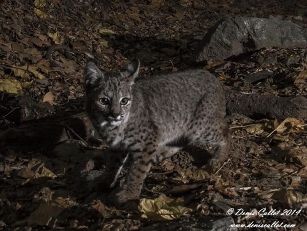 Bobcat2 2014