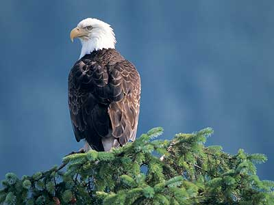 Use Your Eagle Eyes for Bald Eagles
