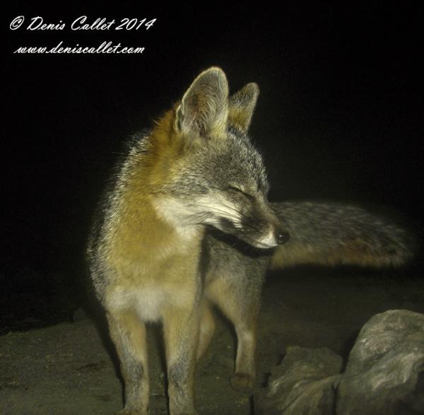 fox and fox2