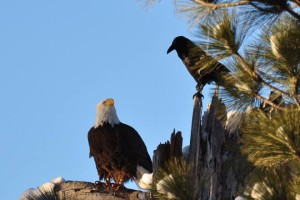 Bald Eagle mixing it up with the locals in Big Bear. PHOTO: DANNY ENGER