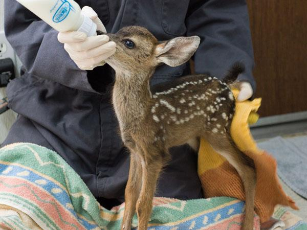 Infant Mule deer found in Brentwood and rehabbed at the center. Photo by the CWC.