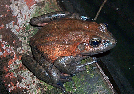 Red-Legged Frog Named State Amphibian