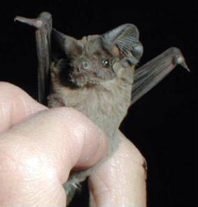 Close up of Mexican free-tailed bat from National Park Service.