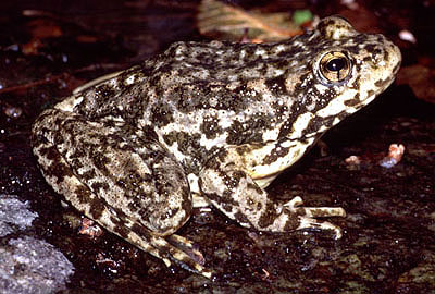 Mountain Yellow-Legged Frogs in a Water-Less World