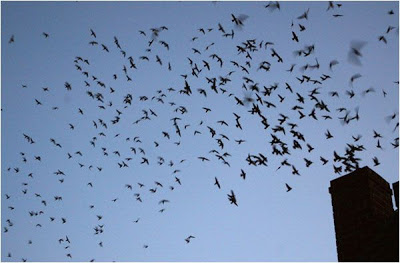 Where Are the Vaux's Swifts?