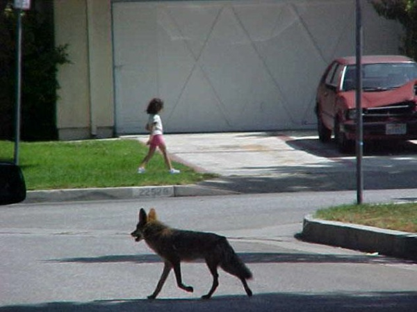CoyoteInNeighborhood