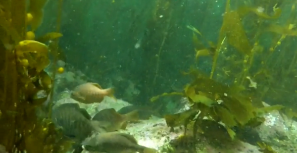 CHECKING OUT NEW DIGS -- Fish swim the newly restored kelp forest in the PV Peninsula.