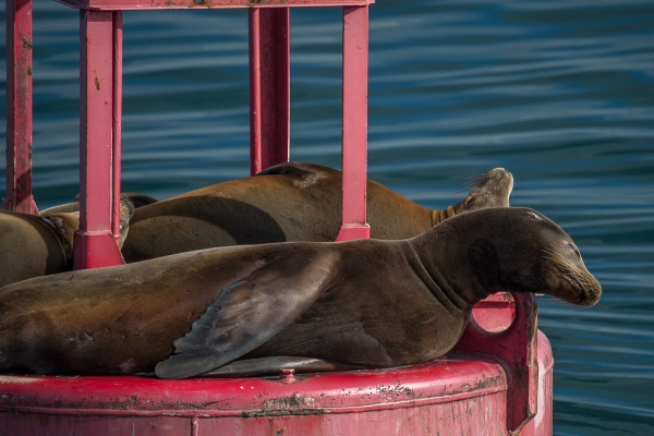 TAKING IT EASY - Sea lions conserving their energy.
