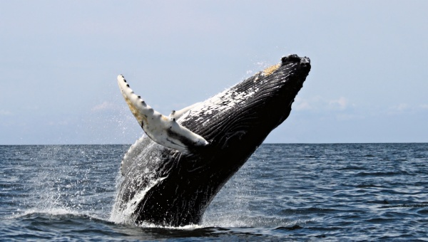 BIG BREACHES - Not all whales breach like this humpback. PHOTO: NOAA