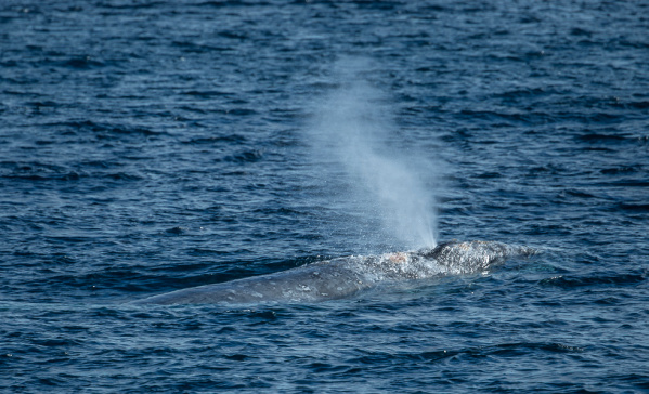 THAR SHE BLOWS - Gray whales have a heart-shaped blow. PHOTO: MARTHA BENEDICT