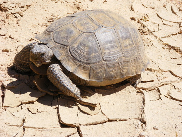 More Roaming for Desert Tortoises