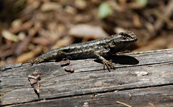 LIZARD AS TEACHER -- Regular walks on nature center property will be part of the youngsters daily schooling.
