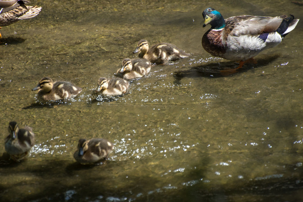 YES, WE'D LIKE A POND: Mallards at the waterway in the North Reserve watch over youngsters.