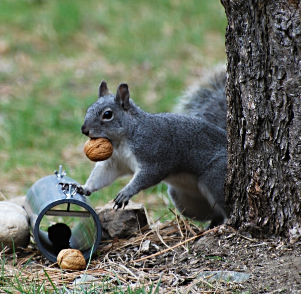 FREE LUNCH - Gray squirrels and hairtube. PHOTO: Craig Olson