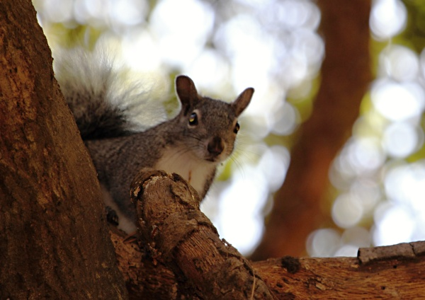 TRYING TO SURVIVE - Western gray squirrels PHOTO: Alan Muchlinski