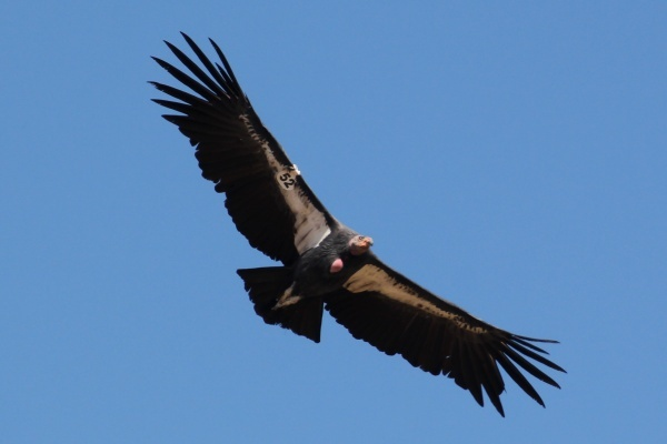 More Tour Dates to See California Condors in the Wild