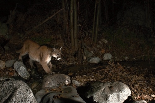 CAUGHT IN THE CAMERA -- Better get used to the fame, cougar! PHOTO: Denis Calett