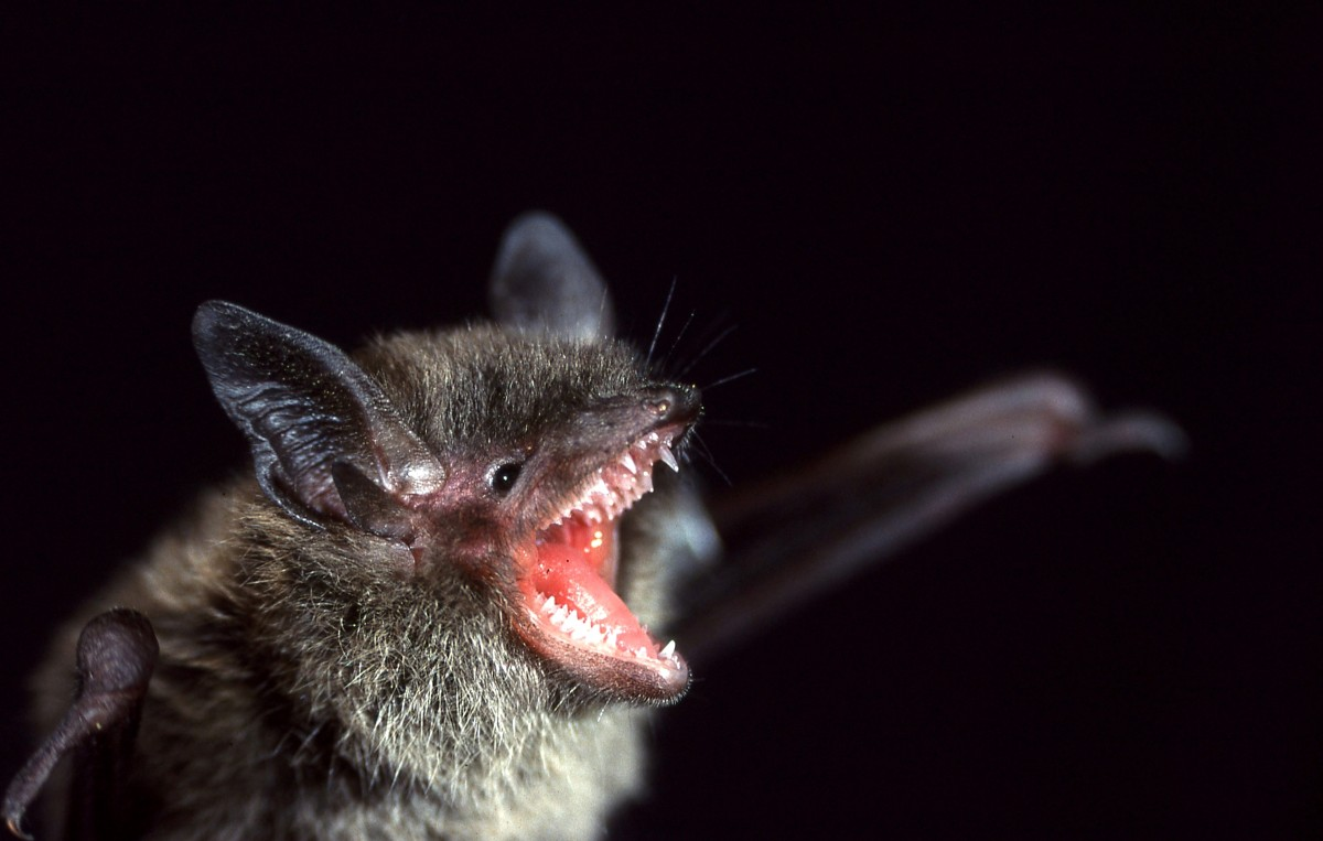 I'M HUNGRY -- California's resident little brown bats are insect-eaters but would prefer a juicy moth to a teeny 'squtio. PHOTO: S Dobbyn