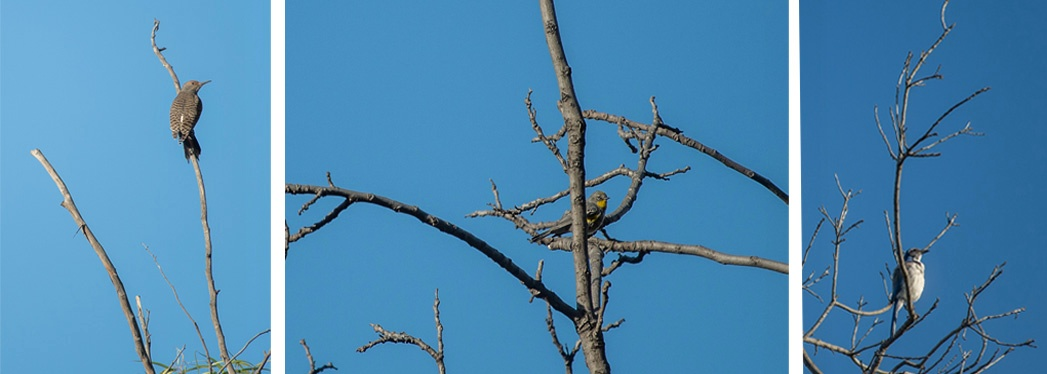 LOOK UP -- Flicker, warbler and scrub jay.