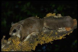 Flying Squirrels On Their Own