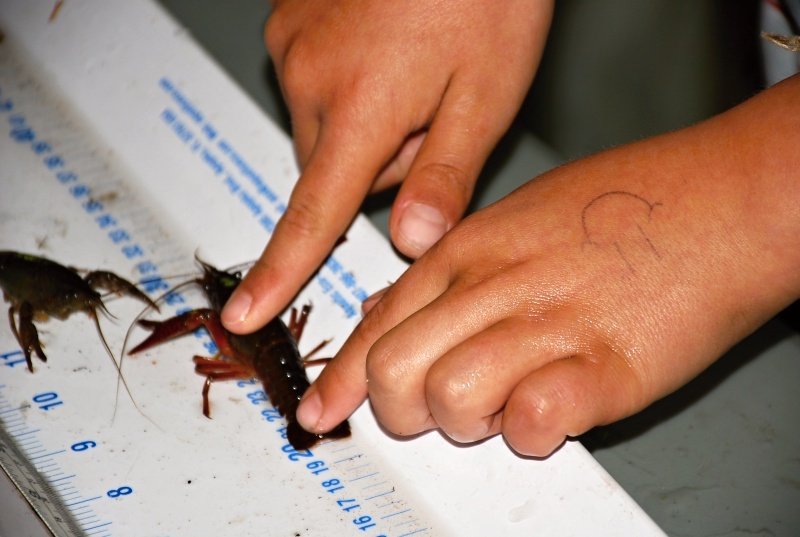 HOW BIG? Caught crayfish are sized and sexed for science.