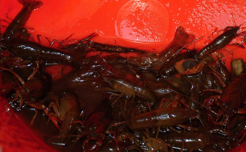 NOT FOR GUMBO - Captured crayfish will serve as treats to rehabbing critters and wildlife rescue centers.