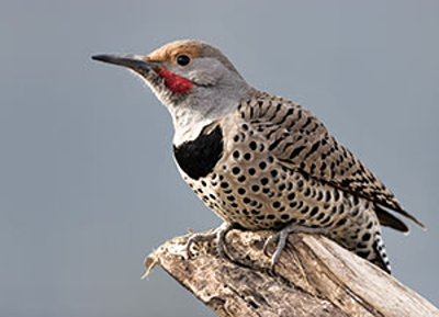 NorthernFlicker_4
