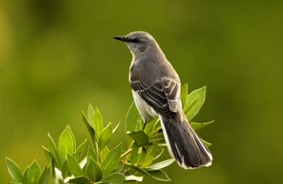 NorthernMockingbird_4