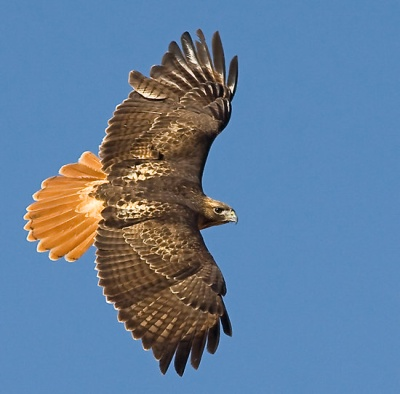 Volunteers Needed for Raptor Study