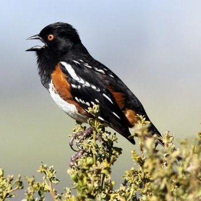 spotted_towhee_4