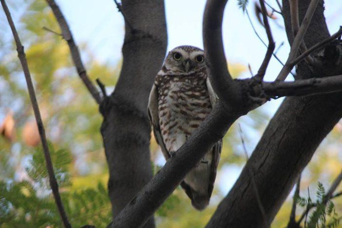 Burrowing Owl Delights Students, Staff at Urban School