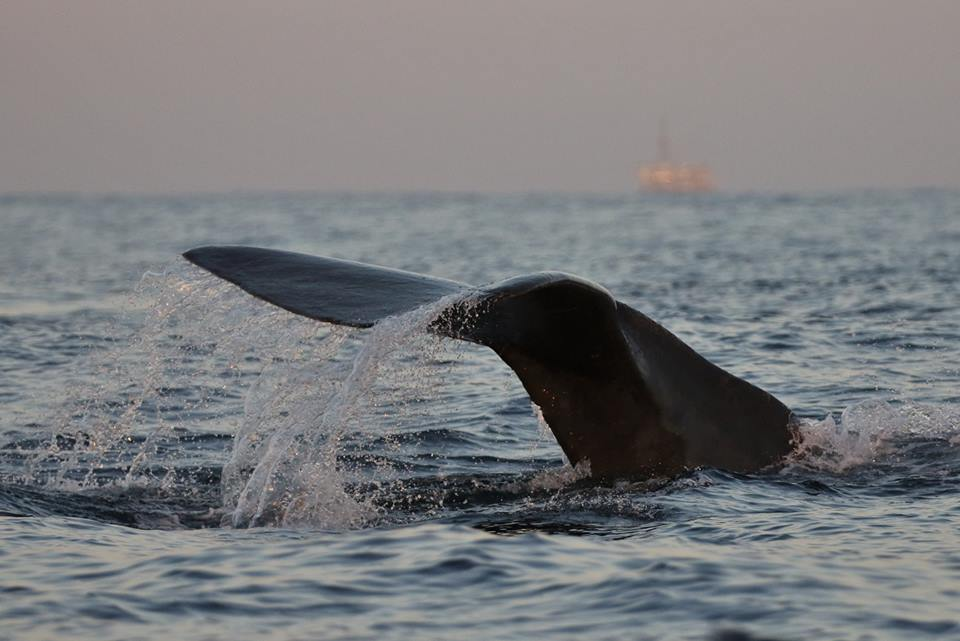 FLIPPING OUT - Whale watchers were treated to seeing a nursery pod of sperm whales. PHOTO: NEWPORT COASTAL ADVENTURE