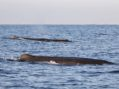 Giant Sperm Whale Nursery Pod Swims Past SoCal