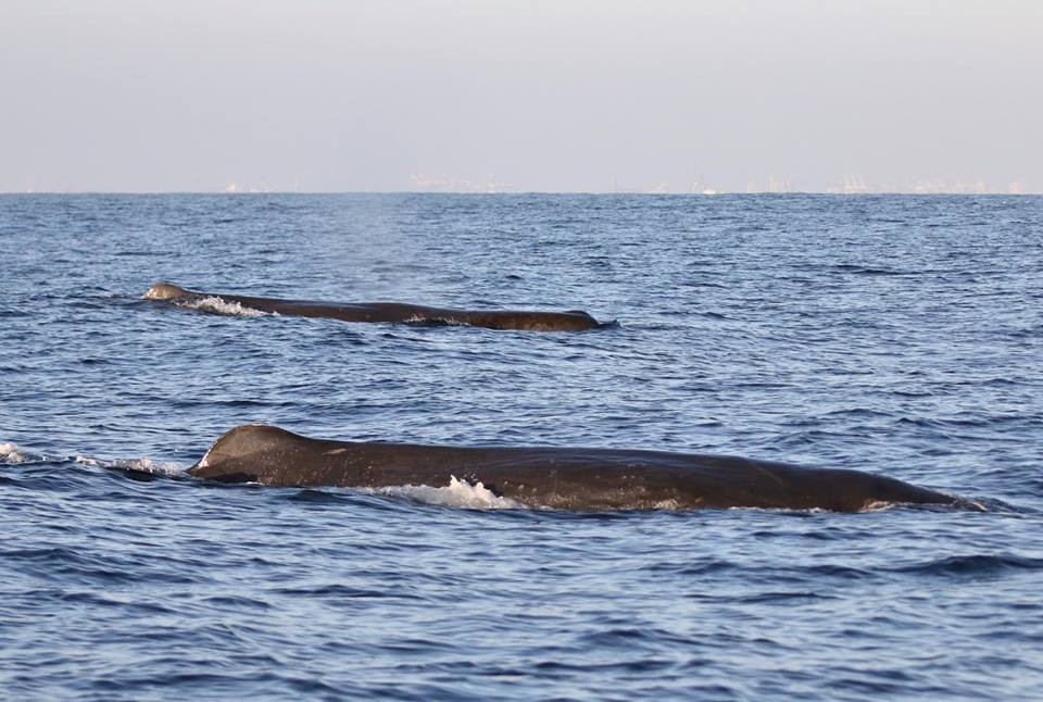 BLOWS AND MORE -- Sperm whales traveling in small groupings through SoCal coastlines. PHOTO: NEWPORT COASTAL ADVENTURE