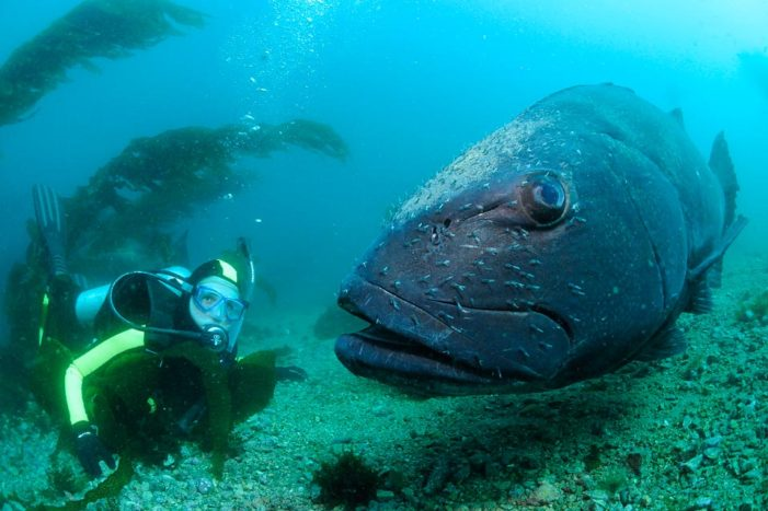Spotting Giant Sea Bass
