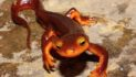 Staring Down the Mysterious California Newt