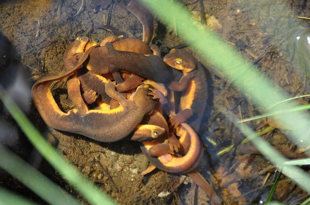 newts_big2