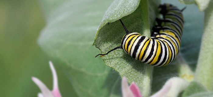 (DeVaughnSquire_creative_commons)_monarch_caterpillar_showy_milkweed_700_320_80_c1