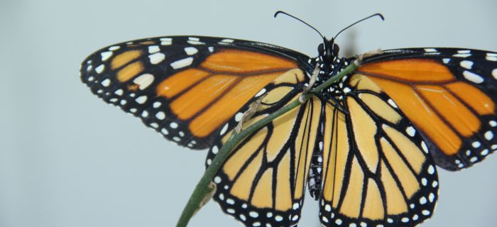 Monitor Monarchs for Science