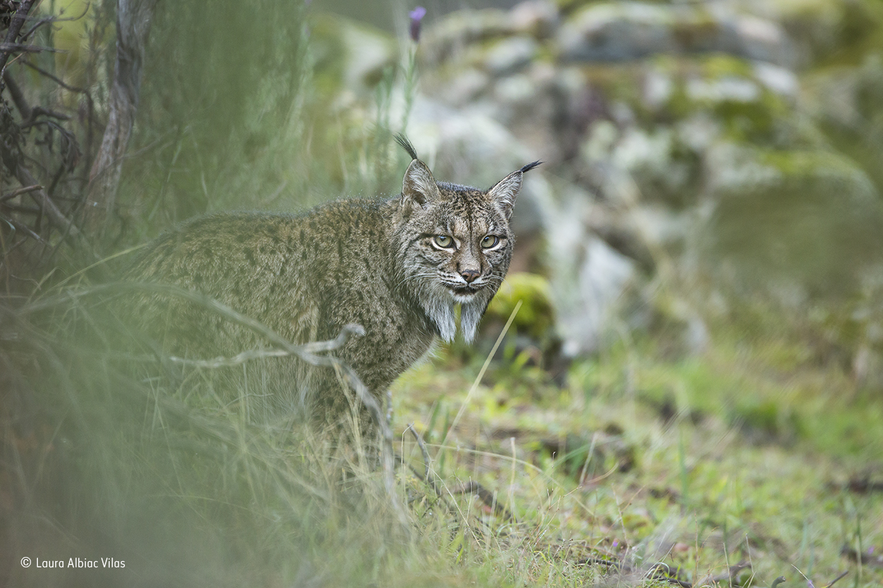 Glimpse of a lynx © Laura Albiac Vilas – Wildlife Photographer of the Year