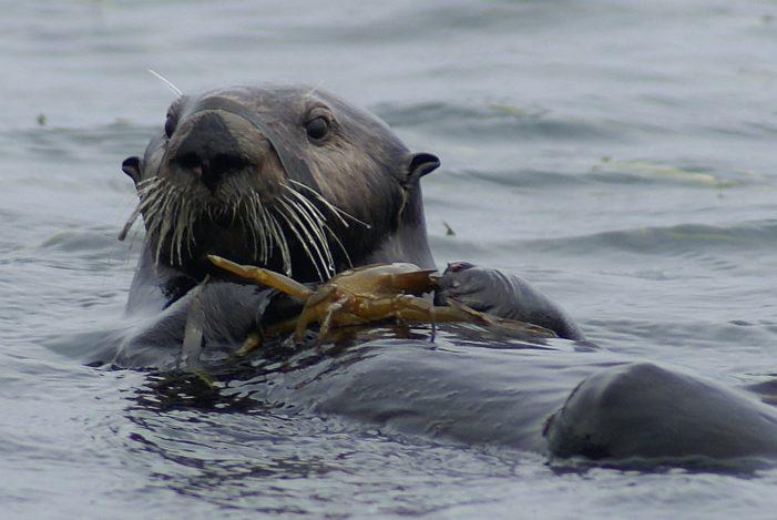Slight Dip in California Sea Otter Numbers